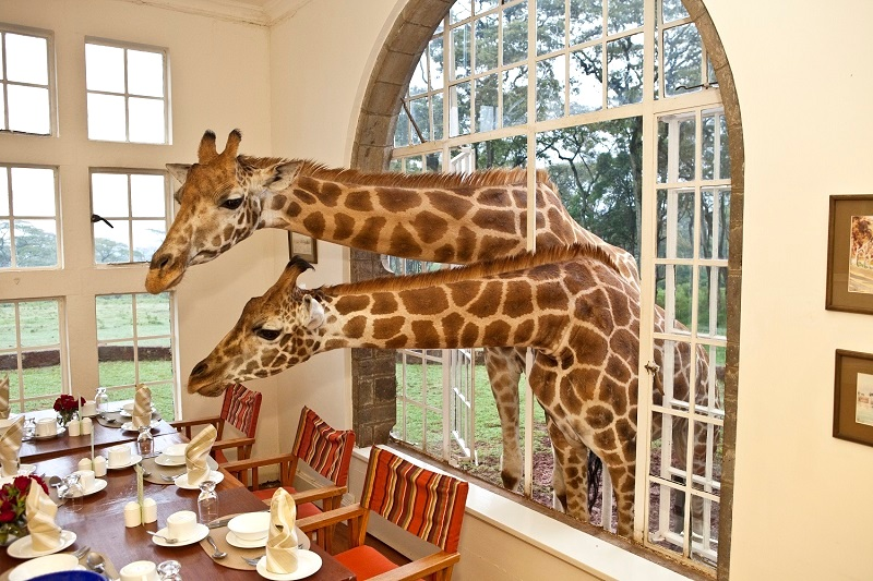 Завтрак с жирафами в необычном отеле Giraffe Manor, Кения