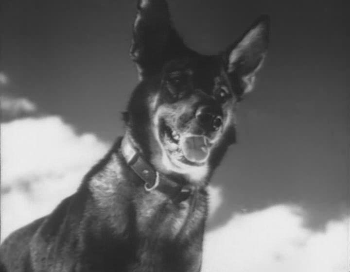Знаменитый пес-сапер Джульбарс. Фото