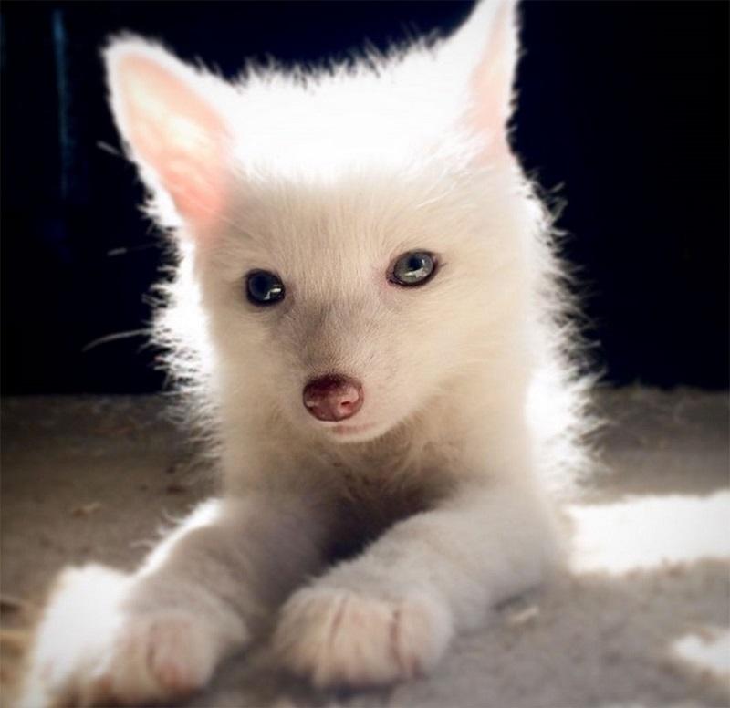 Белая лисичка Рилай - звезда интернета. Фото