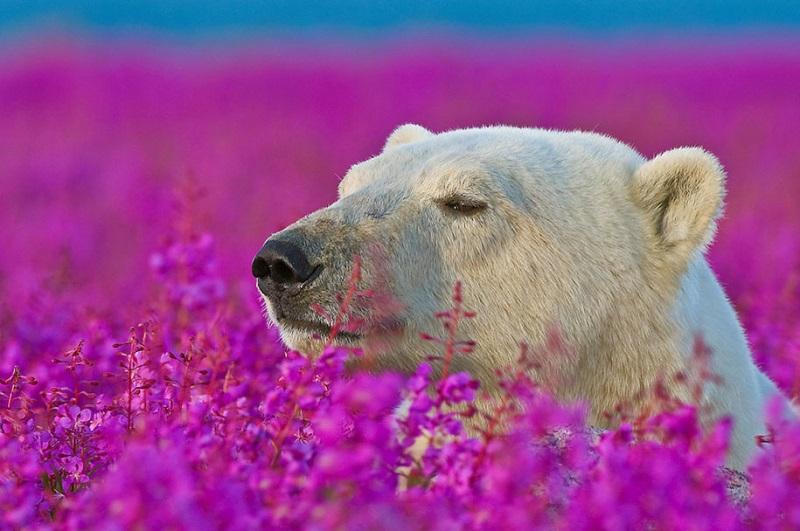 Белые медведи в цветущем поле,