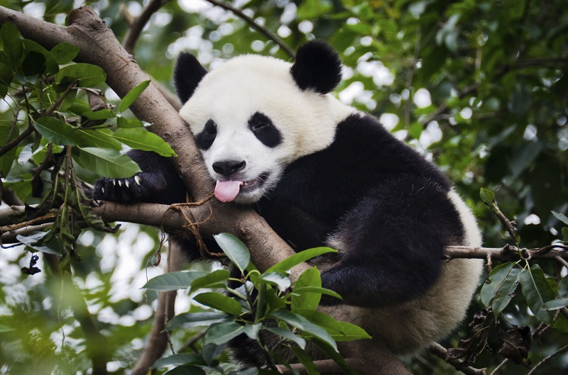 Детский сад для маленьких панд в Китае. Фото