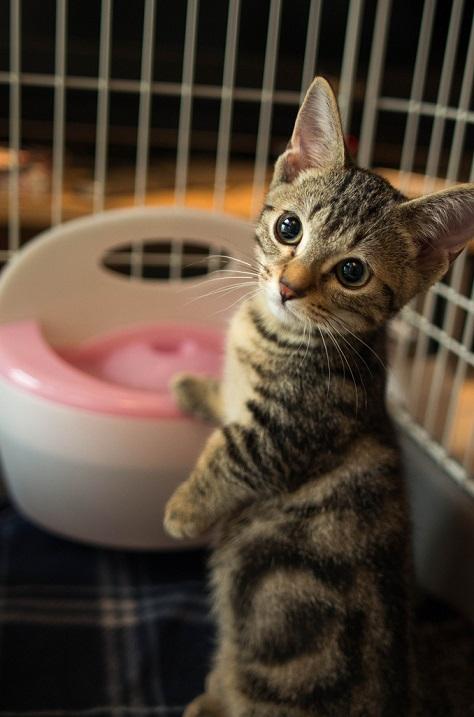 Манчкин - порода кошек с короткими лапами (31 фото)