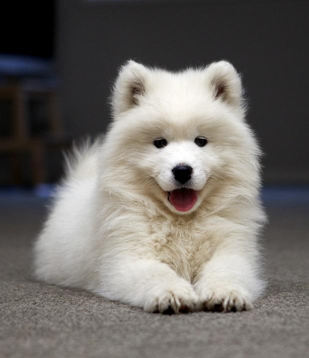 породы собак самоед фото