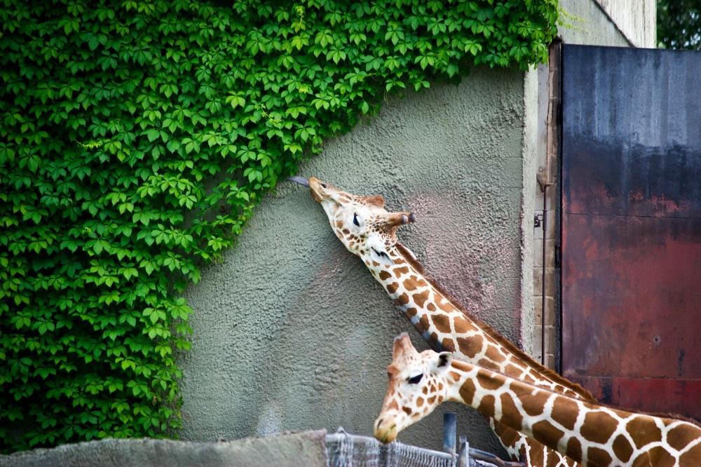 Жираф съел всю листву, до которой смог дотянуться. Фото дня
