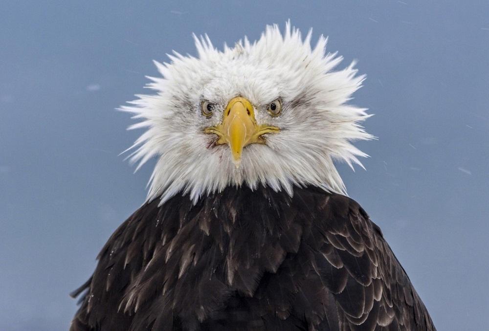 Суровый орел. Фото дня