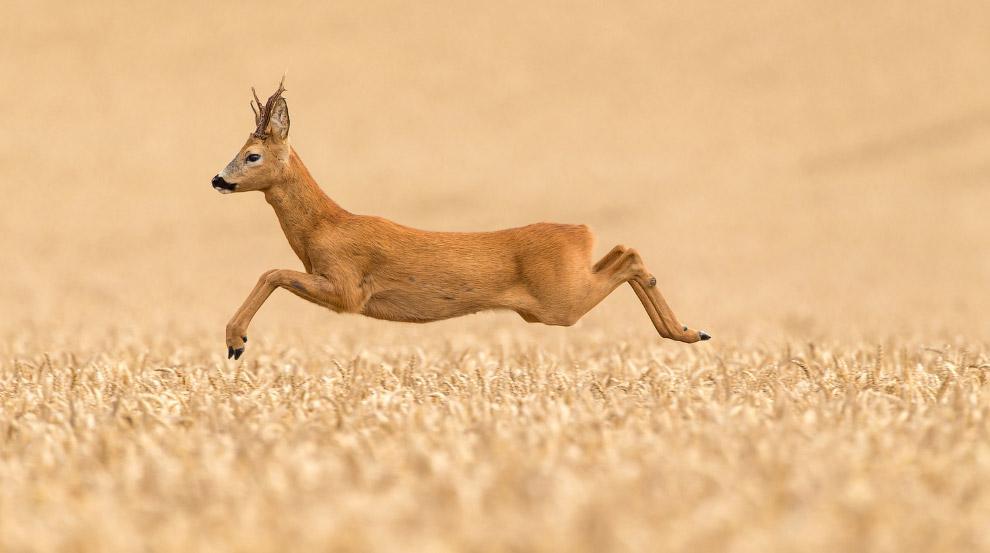 Пролетая над пшеничным полем. Фото дня
