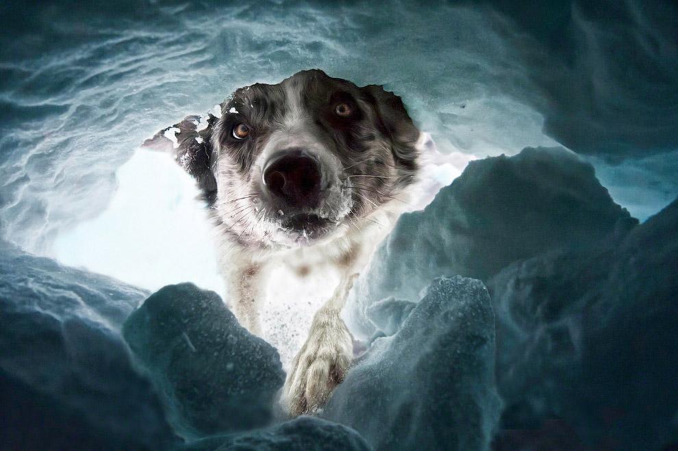 Пёс-спасатель в Швейцарских Альпах. Фото дня