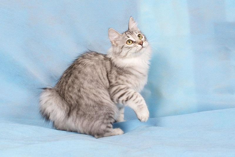 кот породы курильский бобтейл фото