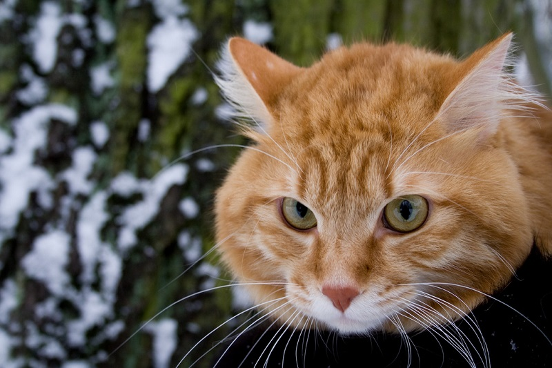 Порода кошек курильский бобтейл. Фото