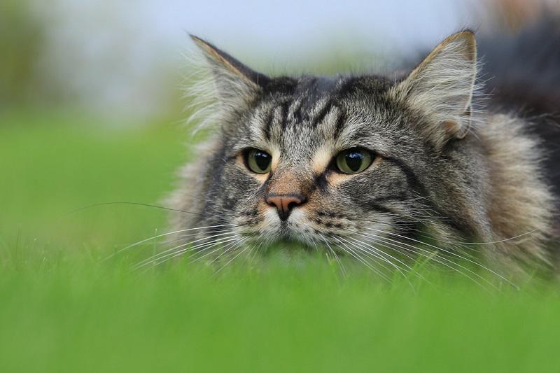 Норвежская лесная кошка. Фото