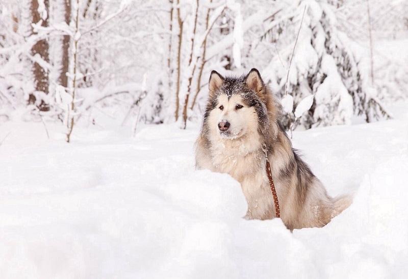 Порода собак аляскинский маламут. Фото
