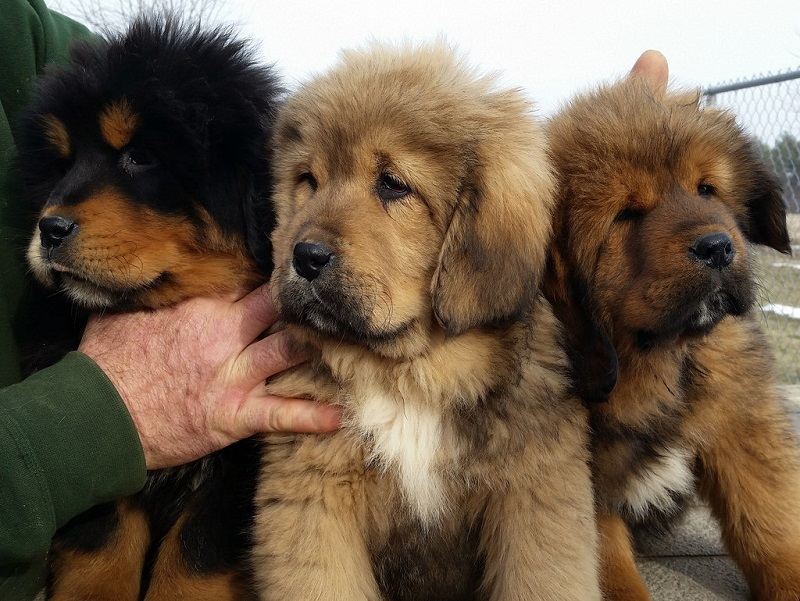 породы собак мастиф фото
