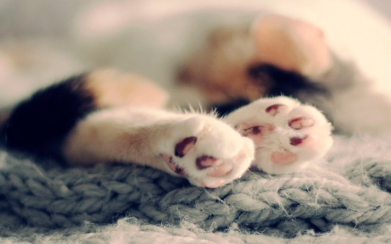 Кошачьи лапки. Фото