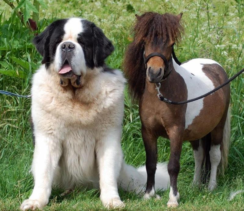 Миниатюрные лошади породы фалабелла. Фото