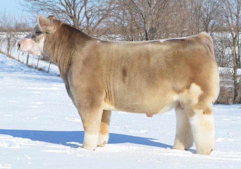 Порода плюшевых коров из Айовы. Фото