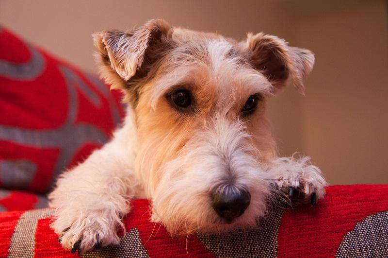 Порода собак фокстерьер. Фото