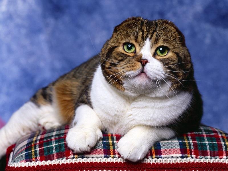 Шотландская вислоухая кошка. Фото