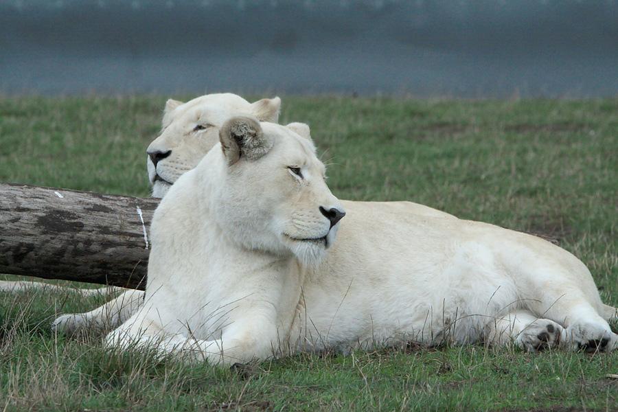 Редкие исчезающие животные нашей планеты Белый лев. Фото