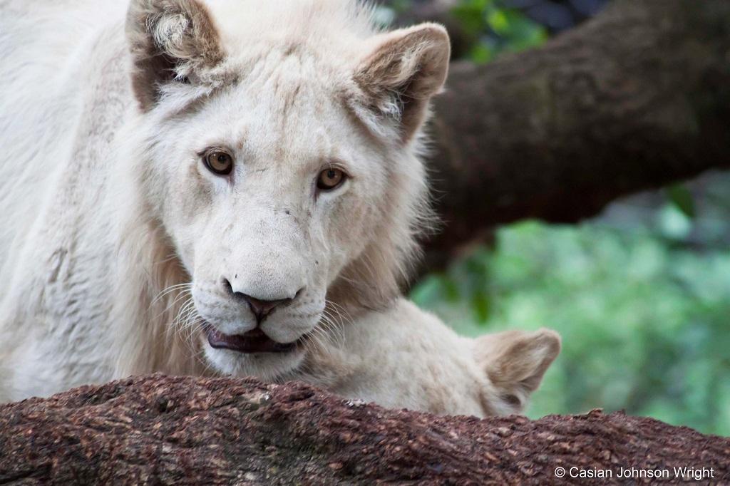 Самые редкие животные нашей планеты - Белые львы. Фото
