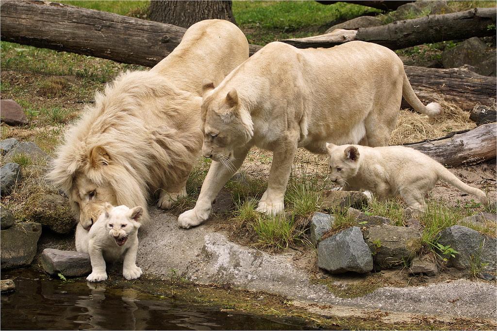 Белый лев - редкое животное занесенное в Красную книгу. Фото