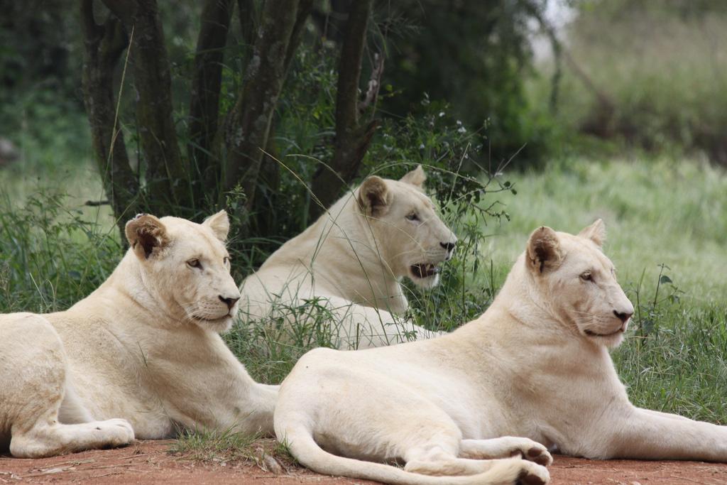 Белый лев - легендарное животное Африки. фото