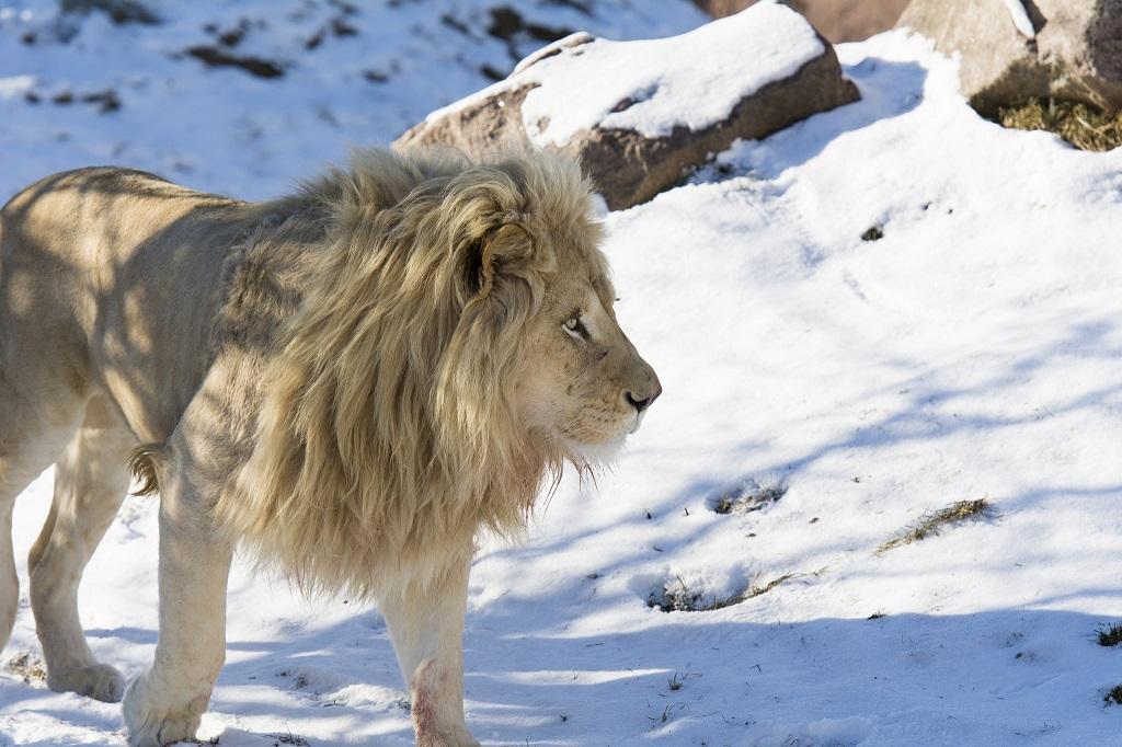 Белые львы - редкие животные из Красной книги. Фото
