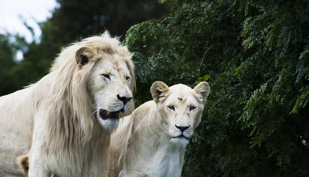 Белый лев - редкое исчезающее животное мира. Фото