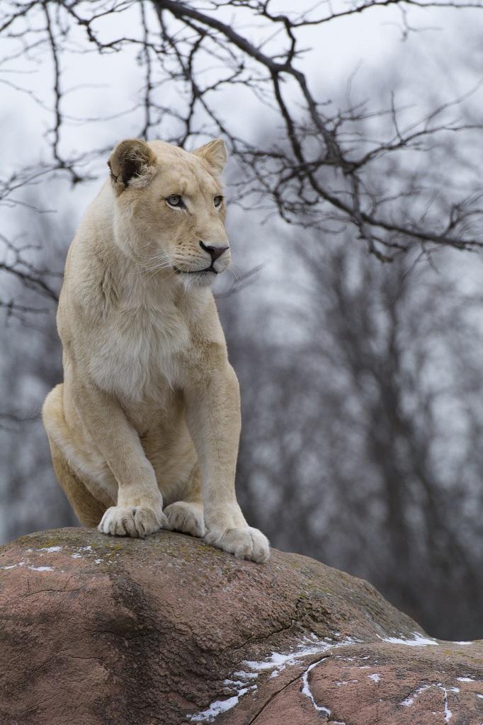 Белый лев - легендарное африканское хищное животное. Фото