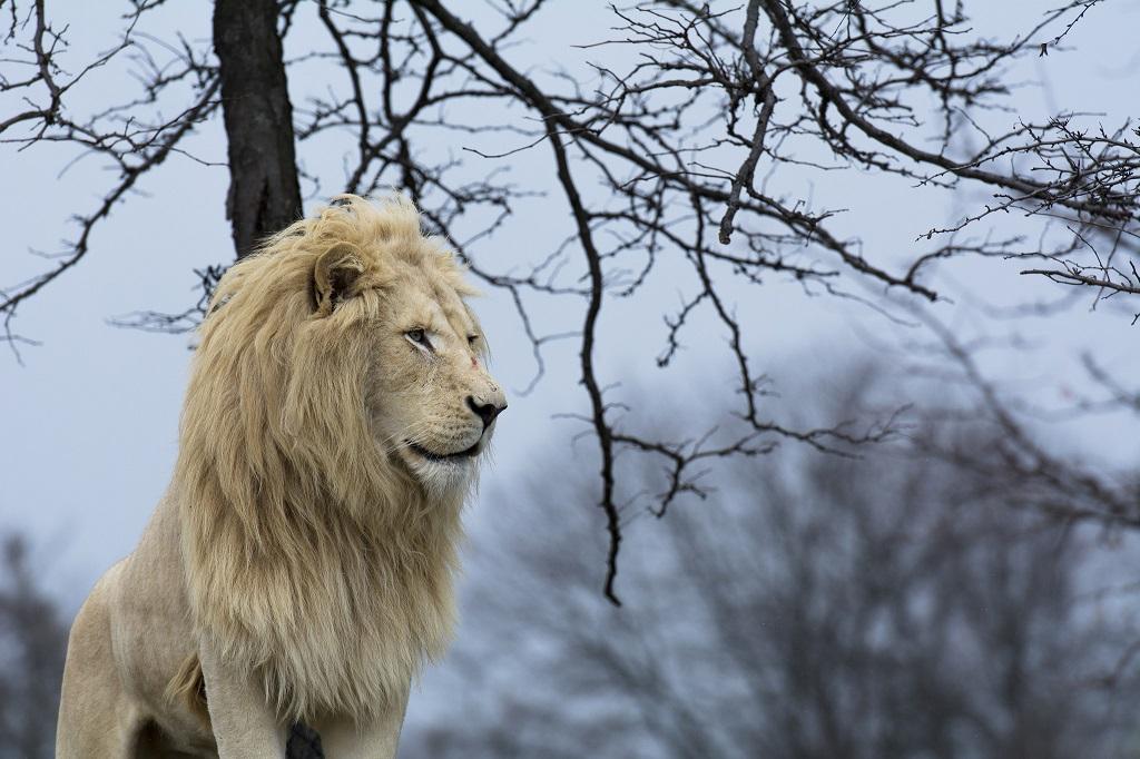 Белый лев - одно из самых редких животных Красной книги. Фото