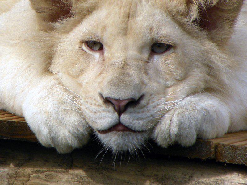 Белый лев - редкий исчезающий вид фото