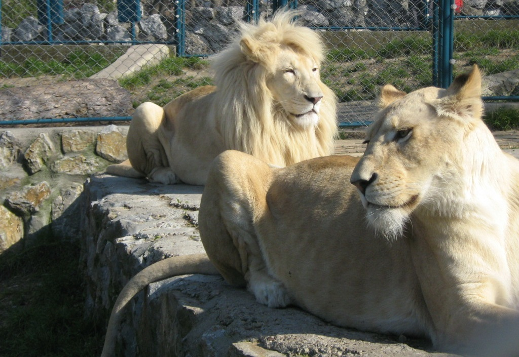 Белый лев - удивительные животные Африканских саван фото