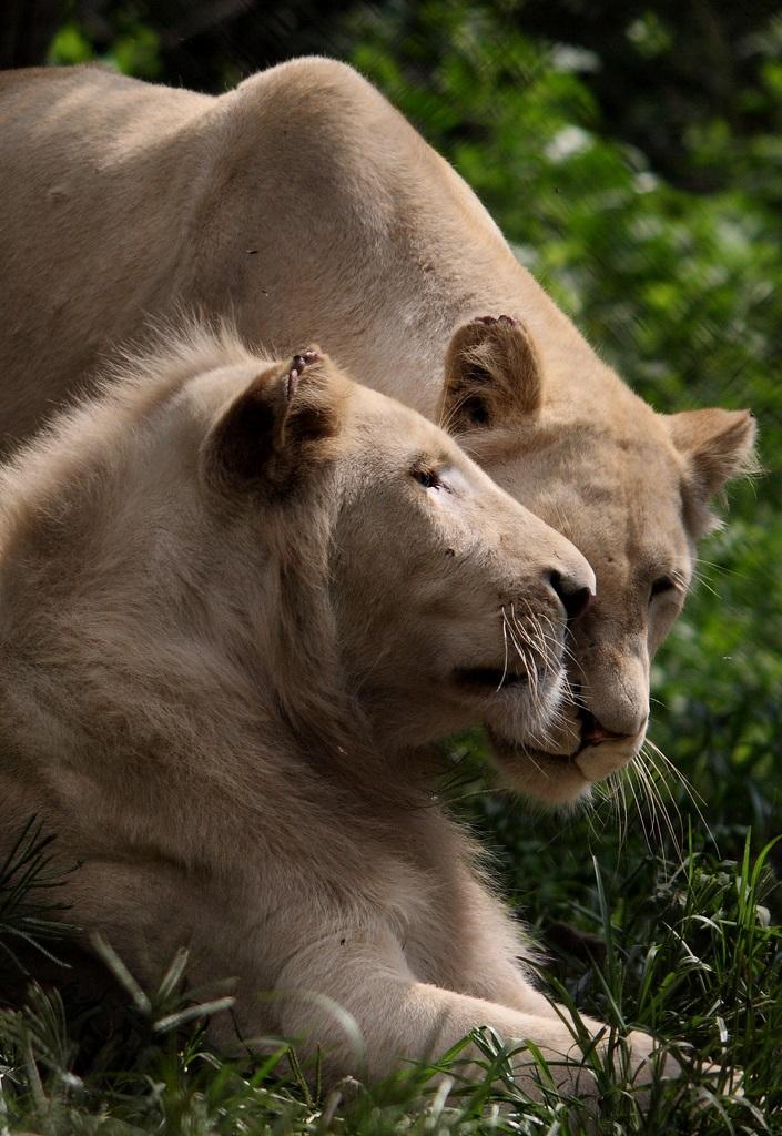 Описание и фотографии белого льва
