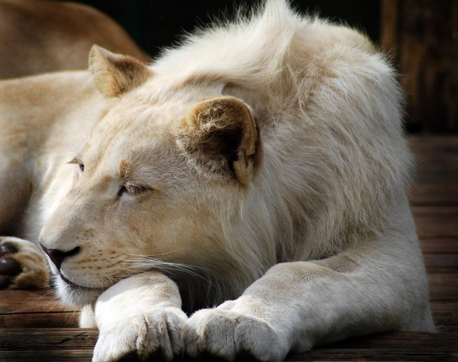 Белые львы - легенда или реальность. Фото