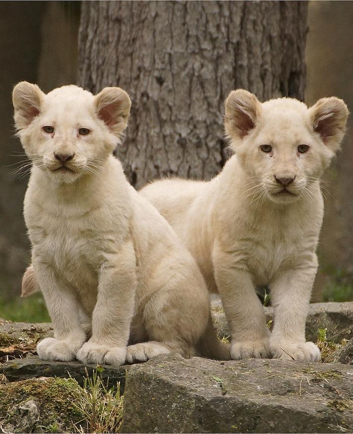 Белый лев - животные занесенные в Красную книгу. Фото