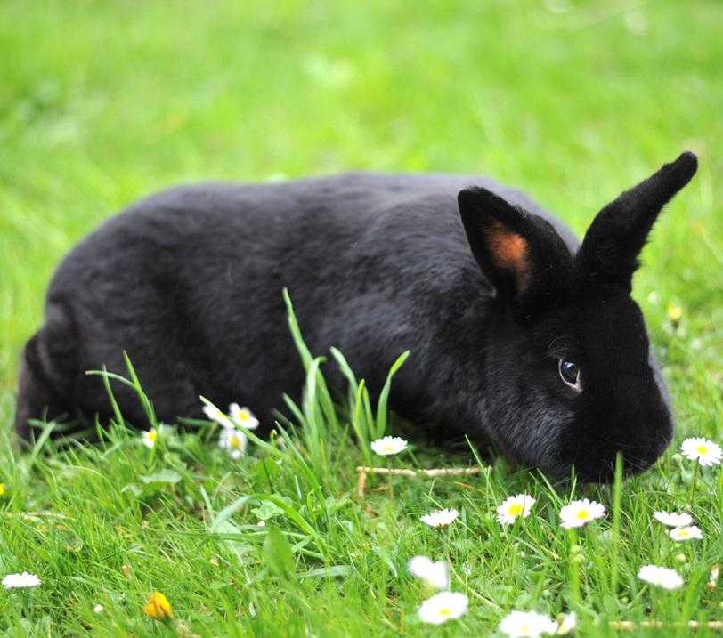 Самые редские породы кроликов. Фото, описание