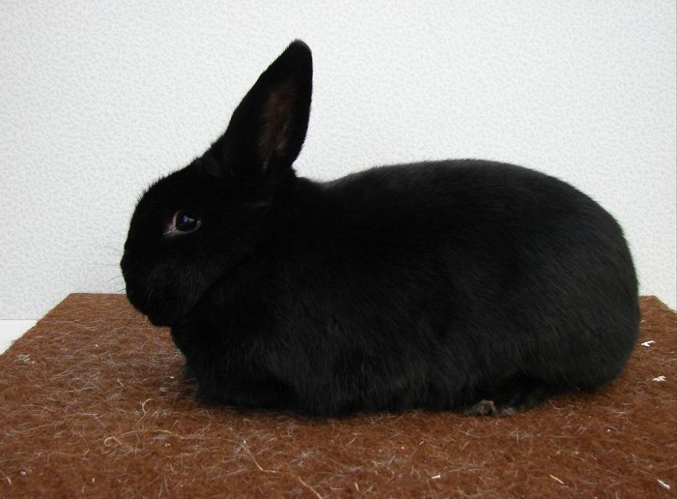 Самые неприхотливые в уходе породы кроликов фото описание