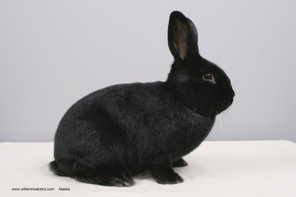 Самые редкие и необычные породы кроликов фото