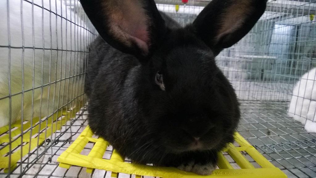 Кролик породы аляска описание фото