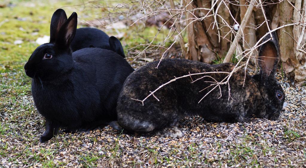Самые неприхотливые породы кроликов фото описание