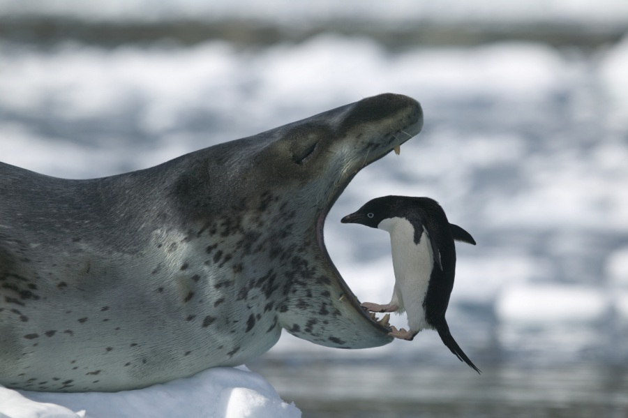Морской леопард (описание, 25 фото, видео) Морской леопард (описание, 25 фото, видео) 1  20 20  20 20 20 20 20