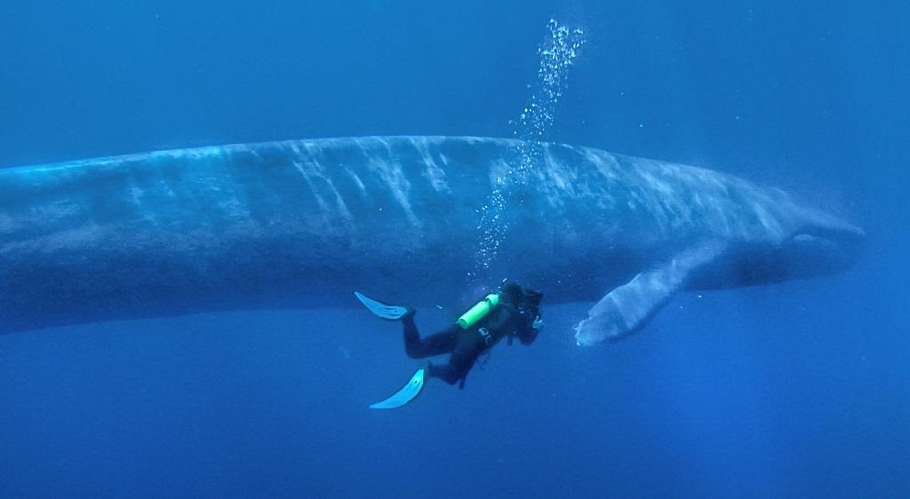 Синий кит плывет рядом с человеком. Фото
