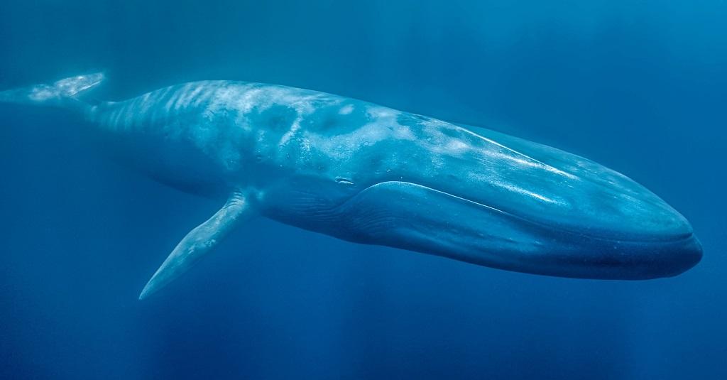 Блювал, или голубой кит - животное рекордсмен. Фото