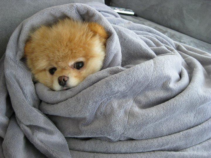 Померанский шпиц Бу в одеяле. Фото