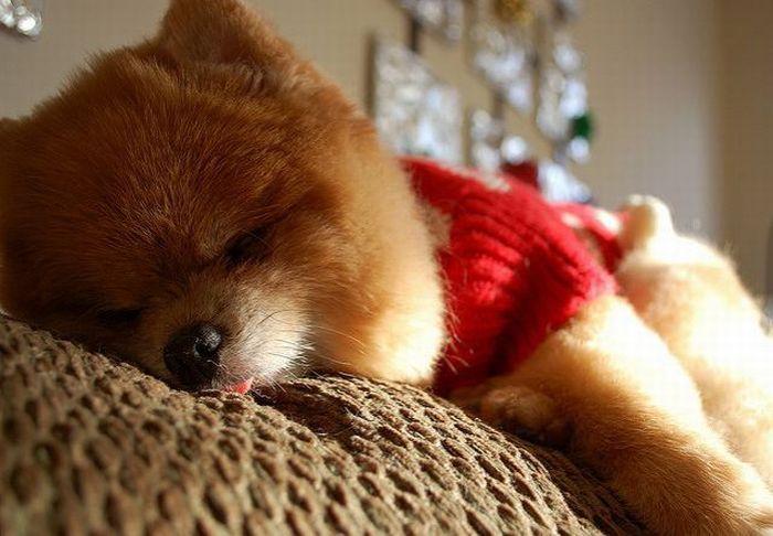 Щенок бу спит высунув язычок фото