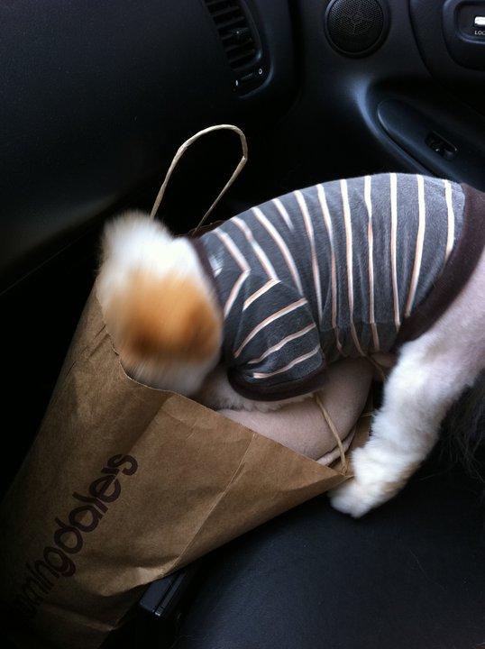 Щенок Бу ищет в сумке вкусности. Фото