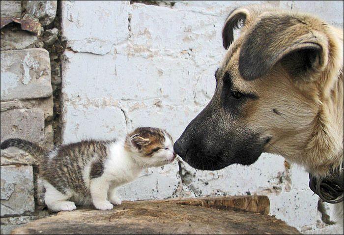 Овчарка знакомится с котенком. Фото