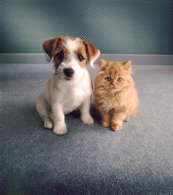 Щенок терьера и рыжий котенок. Фото