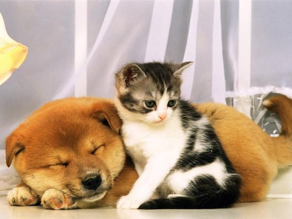Котенок охраняет сон рыжего друга. Фото
