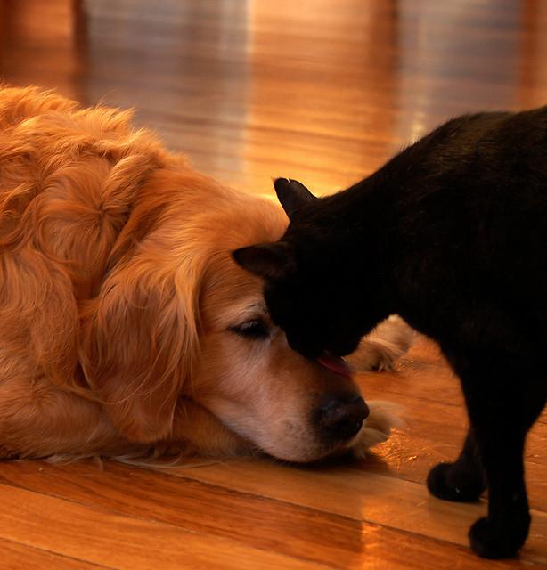 Дружба животных: кот лижет собаке мордочку. Фото