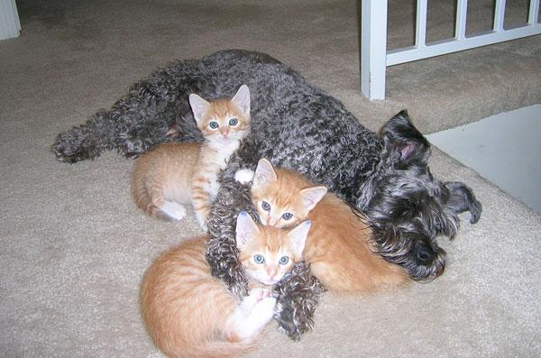 Терьер спит в обнимку с котятами. Фото